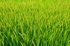 Campo dei risi Fotografia Stock