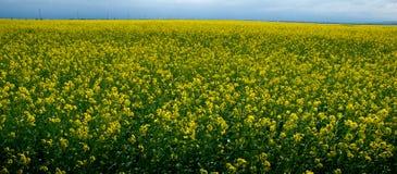 Campo dei semi di ravizzone Immagini Stock Libere da Diritti