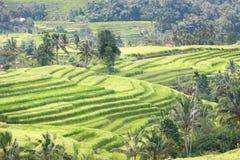 Campo dei terrazzi del riso di Bali Jatiluwih Immagini Stock Libere da Diritti