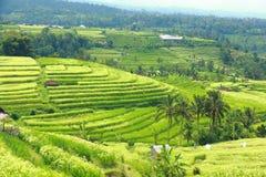 Campo dei terrazzi del riso di Bali Jatiluwih Fotografia Stock Libera da Diritti