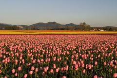 Campo dei tulipani Immagine Stock