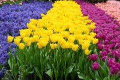 Campo dei tulipani Immagini Stock