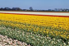 Campo dei tulipani Immagine Stock Libera da Diritti