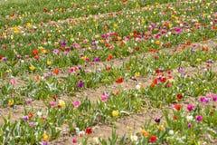 Campo dei tulipani Fotografia Stock