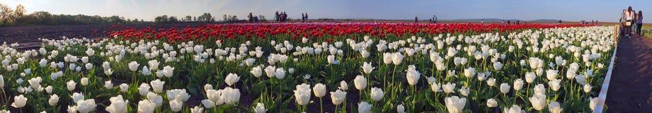 Campo dei tulipani Fotografia Stock Libera da Diritti