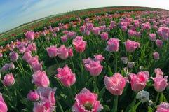 Campo dei tulipani Fotografie Stock Libere da Diritti