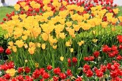 Campo dei tulipani Fotografie Stock