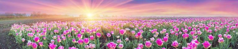 Campo dei tulipani in Cernivci Fotografia Stock Libera da Diritti