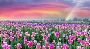 Campo dei tulipani in Cernivci Fotografie Stock Libere da Diritti