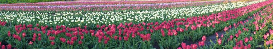 Campo dei tulipani in Cernivci Fotografie Stock