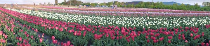 Campo dei tulipani in Cernivci Immagine Stock