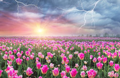 Campo dei tulipani in Cernivci Fotografia Stock
