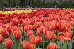 Campo dei tulipani dentellare fotografia stock libera da diritti