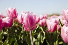 Campo dei tulipani dentellare Fotografia Stock