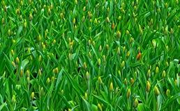 Campo dei tulipani di fioritura immagine stock
