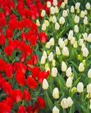 Campo dei tulipani Fiorisce i tulipani Tulipani rossi e bianchi Fondo Fotografia Stock