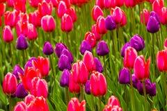 Campo dei tulipani Fiorisce i tulipani Tulipani rossi e bianchi Fondo Immagine Stock