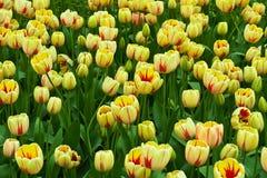 Campo dei tulipani gialli Immagine Stock