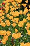 Campo dei tulipani gialli Immagine Stock Libera da Diritti