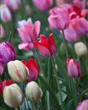 Campo dei tulipani multicolori con un fiore rosso nel fuoco tagliente immagini stock libere da diritti