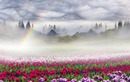 Campo dei tulipani nei Carpathians Immagine Stock