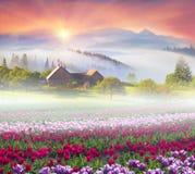 Campo dei tulipani nei Carpathians Fotografie Stock Libere da Diritti