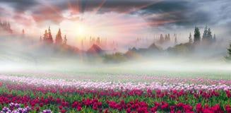 Campo dei tulipani nei Carpathians Immagini Stock Libere da Diritti