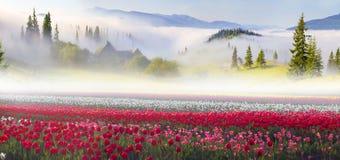 Campo dei tulipani nei Carpathians Fotografia Stock Libera da Diritti