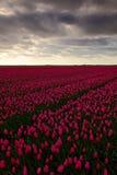 Campo dei tulipani rossi dentro contro un cielo di sguardo tempestoso, paesaggio di tradizione dell'Olanda, giorno piovoso Fotografie Stock