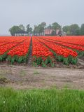 Campo dei tulipani rossi ed arancioni ardenti Fotografie Stock Libere da Diritti