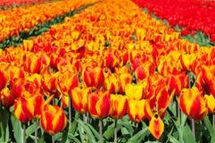 Campo dei tulipani rossi ed a strisce Fotografie Stock Libere da Diritti