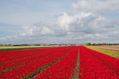 Campo dei tulipani rossi variopinti nei Paesi Bassi Fotografia Stock Libera da Diritti