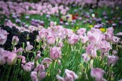 Campo dei tulipani ultravioletti immagine stock