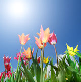 Campo dei tulipani variopinti un giorno soleggiato Immagine Stock