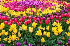 Campo dei tulipani variopinti Valle Tulip Festival di Scagit a Washington Immagine Stock Libera da Diritti