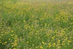 Campo dei wildflowers gialli Immagini Stock Libere da Diritti