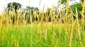 Campo dei wildgrass Immagine Stock