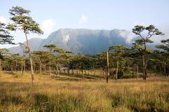 Campo del árbol de pino Fotos de archivo