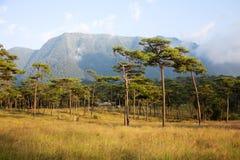 Campo del árbol de pino Fotografía de archivo