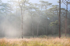 Campo del árbol de pino Imágenes de archivo libres de regalías
