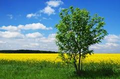 Campo del árbol del verano fotografía de archivo libre de regalías