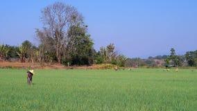 Campo del ajo en Myanmar metrajes