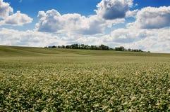 Campo del alforfón en fondo del cielo azul fotos de archivo