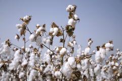 Campo del algodón Fotografía de archivo