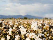 Campo del algodón Imagen de archivo libre de regalías