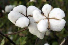 Campo del algodón Imagenes de archivo