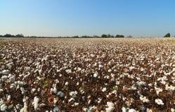 Campo del algodón de Alabama Fotografía de archivo libre de regalías