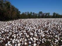 Campo del algodón en Georgia Imagen de archivo libre de regalías