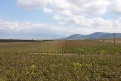 Campo del algodón en un fondo de montañas Fotos de archivo libres de regalías