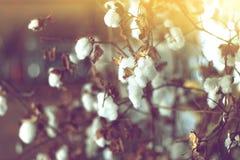 Campo del algodón, rama de la flor de la planta de algodón Foto de archivo libre de regalías